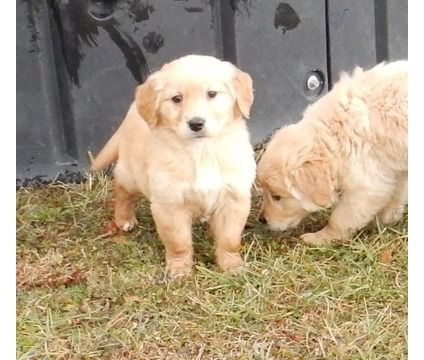 hnsds Adorable Christmass Gitf Golden Retriever Puppies for sale is a Male Golden Retriever For Sale in Hayward CA