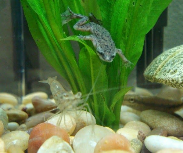 Best Food To Feed African Dwarf Frogs