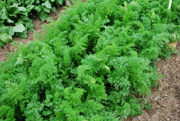 1000 Images About Growing Carrots On Pinterest Starting 640 x 480