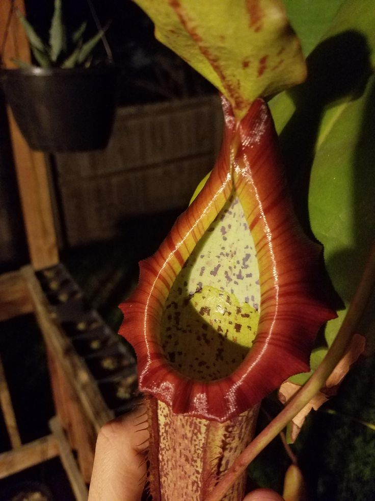 Nepenthes Miranda #gardening #garden #DIY #home #flowers #roses #nature #landscaping #horticulture
