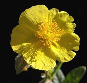 Rock Rose, o floral para quem tem medo intenso.