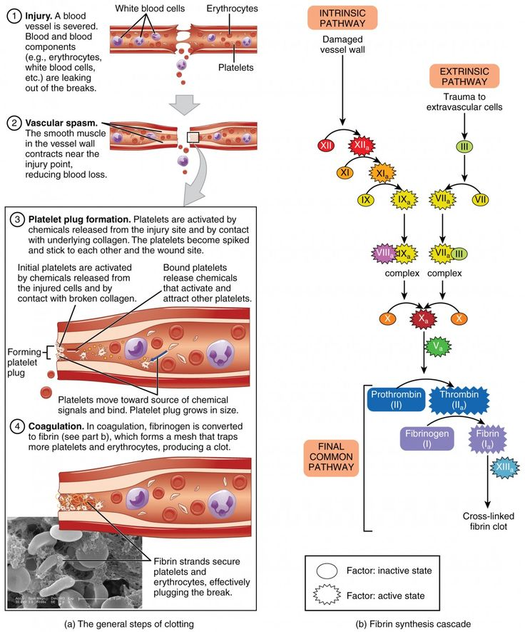 This figure details the steps in the clotting of blood. Each step is shown along…