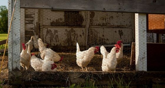 The deep litter method for chicken coops is pretty controversial among backyard chicken keepers. What do you think about it? http://bit.ly/2n9sYhS #breeds #chicken #eggs #raisingchickens #feed #organicfeed #deeplitter #littermethod #controversial #saturday  (scheduled via http://www.tailwindapp.com?utm_source=pinterest&utm_medium=twpin&utm_content=post149694731&utm_campaign=scheduler_attribution)