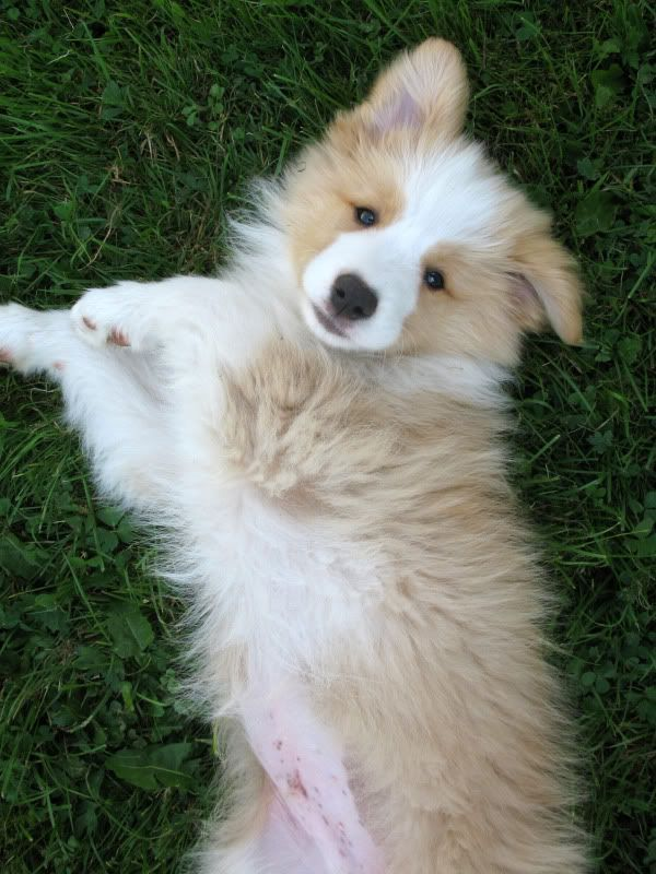 Pin By Patricia Gross On Cute Dogs In 2020 Collie Puppies Red