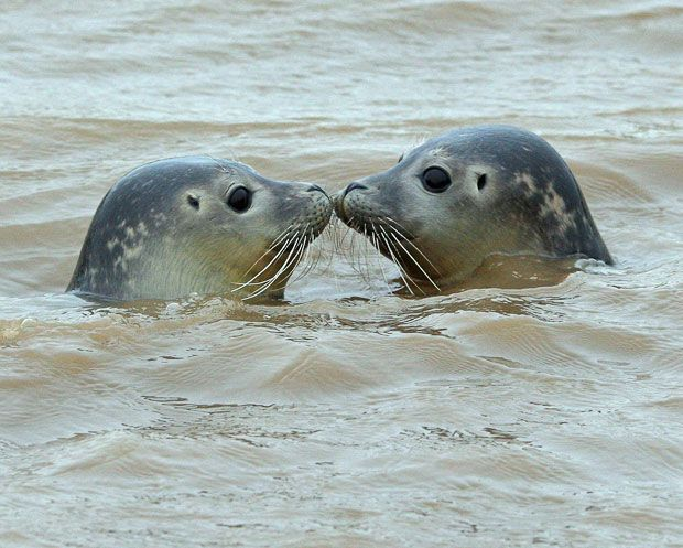 Two rescued seal pups appear to kiss as they are released into the wild off the banks of the River Nene at Sutton Bridge in Lincolnshire, by staff from the RSPCA East Winch Rescue centre in Norfolk