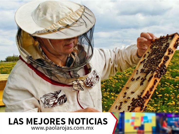 LAS MEJORES NOTICIAS. Son varios los factores que han contribuido a que la población de abejas en el mundo disminuya. Las prácticas de la agricultura industrializada, tales como el empleo de los pesticidas y los herbicidas, están provocando la pérdida de hábitats de las abejas y a largo plazo, acelerando el cambio climático. Además, si llegaran a desaparecer, provocarían una crisis alimentaria. Visite www.paolarojas.com.mx, para más información. #PaolaRojas