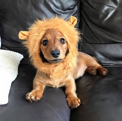 Lion Mane for Dachshunds! Limited time offer: Buy 1 Get 1 Free! Get yours here: https://goo.gl/U5y7h2