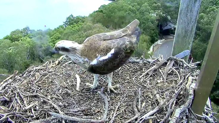 2015 09 20 Ospreys Roy & Vivie have a disagreement