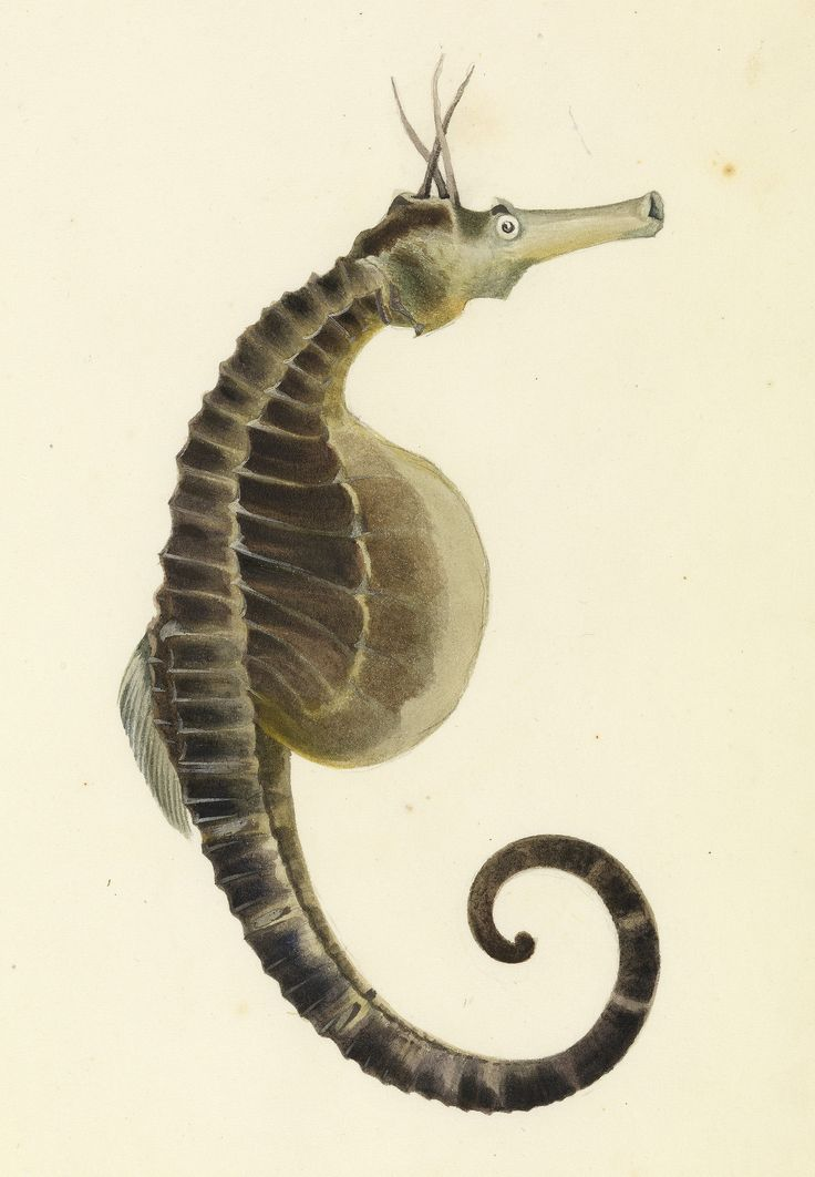 Pot bellied seahorse, Hippocampus abdominalis, from the Sketchbook of fishes by William Buelow Gould, 1832