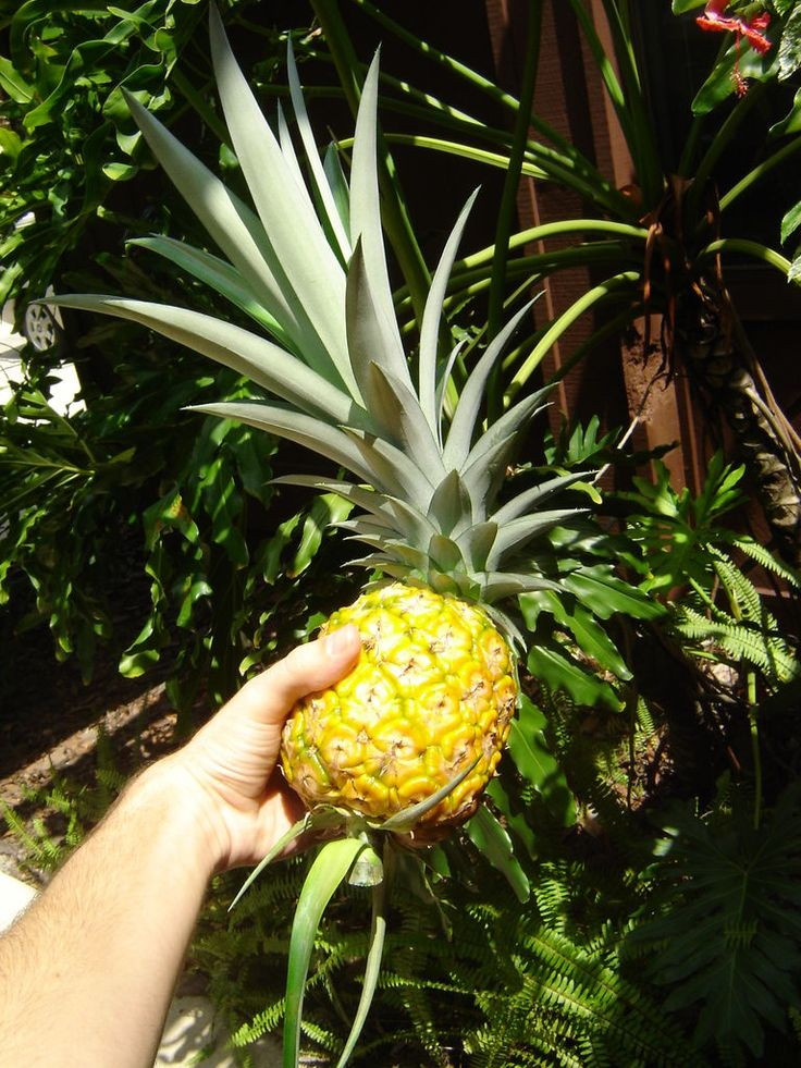 Learn How To Grow a Pineapple in Your Backyard or Flower Pot [Detailed Guide+Video]