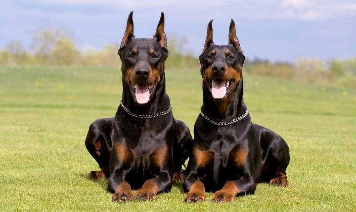 Super Smart Dog Breeds That Ll Surprise You Doberman Pinscher