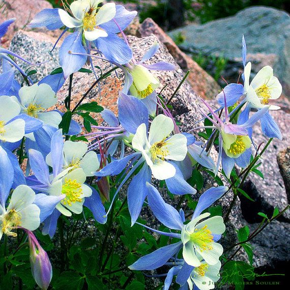1000 Images About Columbine On Pinterest: 1000+ Images About Blue Wall Art On Pinterest