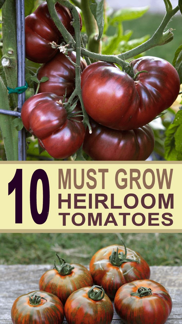 The Top 10 Best Heirloom Tomatoes to grow in your garden.