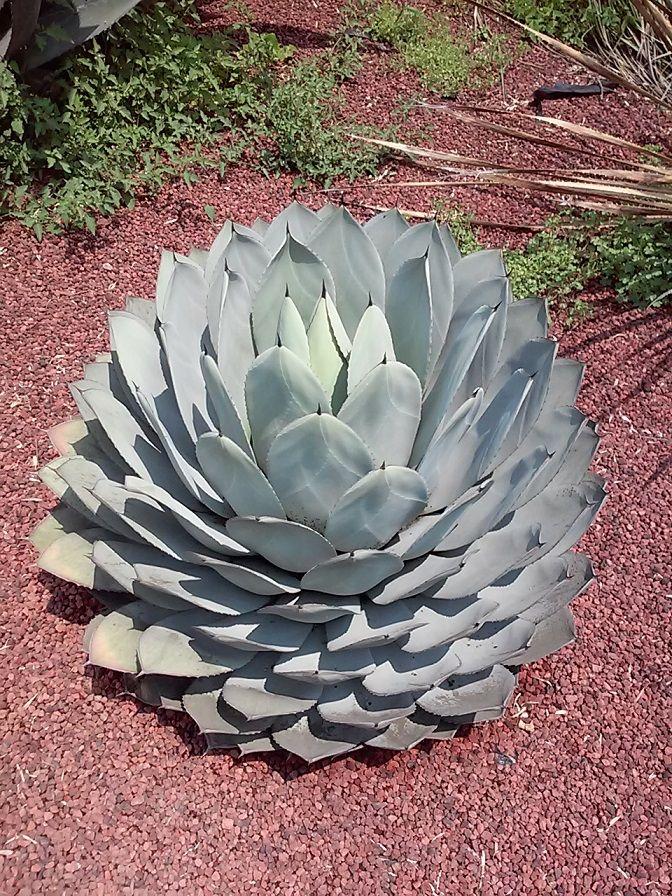 Agave parryi / Jardín Botánico UNAM / Cactus sin fronteras / MAnuel Licona