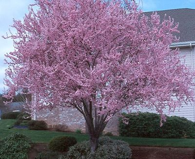 Purple Leaf Plum Tree. In the spring it has beautiful pink blossoms. In the fall it's bright orange and during the summer months it's (you guessed it!) purple.