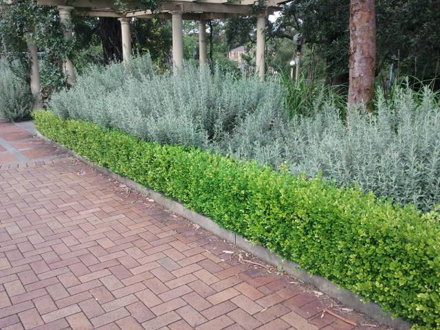 Buxus trimmed low in front of lavender. Lavender is finicky in Georgia, but it could be replaced with Artemisia or upright rosemary.