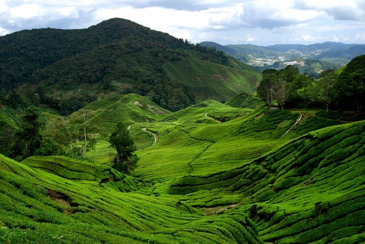 BOH tea plantation, Malaysia Landscape Pinterest