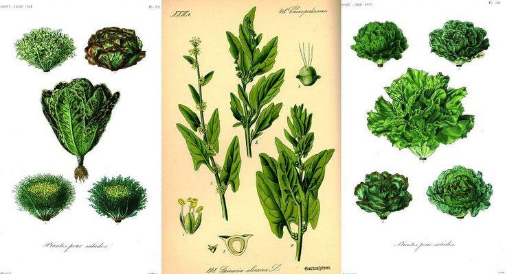Lettuce & Spinach Botanical Print Kurt Stuber Online Library