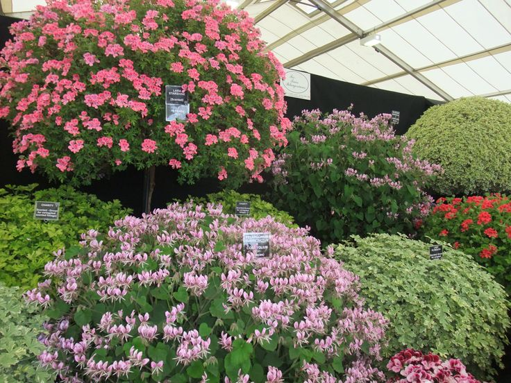 Pelargonium display at Malvern Spring Show 2013. Photo by Helen Johnstone of The Patient Gardener / Notcutts http://blog.notcutts.co.uk/latest-articles/2013/5/14/malvern-spring-show.html