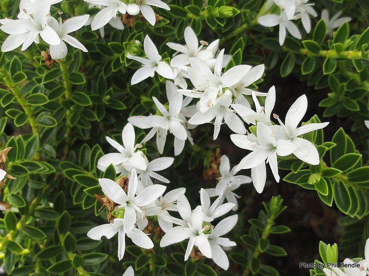 T.E.R:R.A.I.N - Taranaki Educational Resource: Research, Analysis and Information Network - Hebe Odora (Hebe buxifolia 'Nana' )