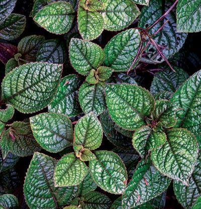 Tato bylinka by neměla chybět ve vaší domácnosti: Pokud trpíte alergiemi či máte ucpané dutiny, pomůže lépe než spreje do nosu! - Rady nad zlato