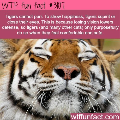 How tigers show happiness -  WTF fun facts: Tigers Can T, Random Fact, Big Cats, Facts About Animals, Tiger Fact, Wtf Fun Facts, Animal Facts, Interesting Facts, Cat Facts