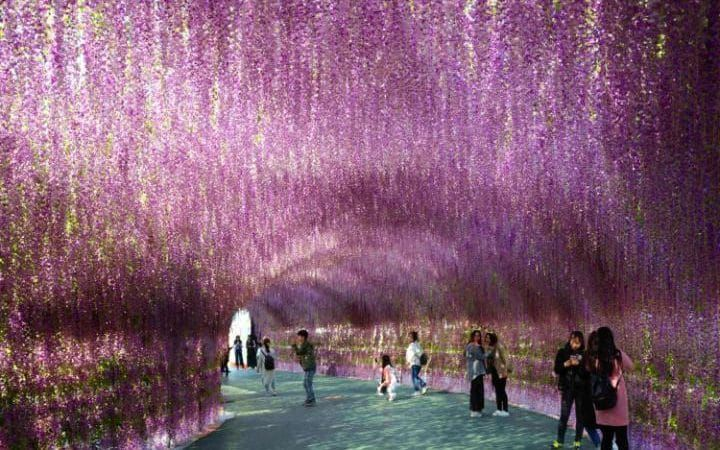 Visitors posing for photos as they visit a 200-meter-long corridor covered with wisteria flowers in Shenyang, northeast China's Liaoning province.