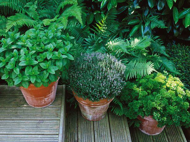 Come coltivare menta in vaso - Idee Green