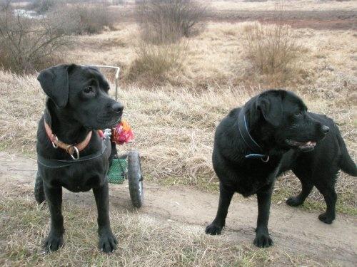 ... labradorka Vivienn - szuka domu na forum  http://labradory.info/viewtopic.php?t=17818