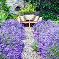 Garden Ideas, Landscaping ideas, pathway, walkway, Lavender path, lavandula Hidcote, Lavender Hidcote, Lavender 'Munstead', Lavandula Angustifolia 'Munstead', Lavandula angustifolia, fragrant path