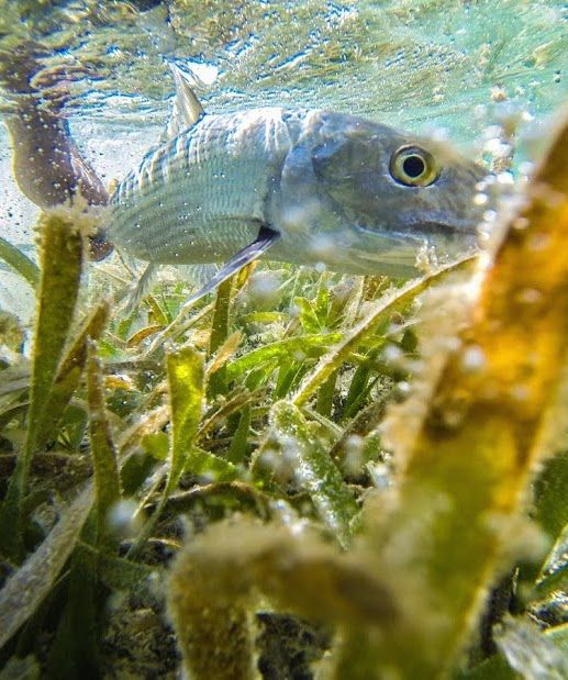 78 images about saltwater flyfishing on pinterest the for Can fish drown