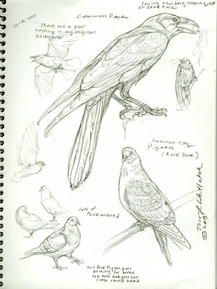 Bird studies by Terryl Whitlatch.