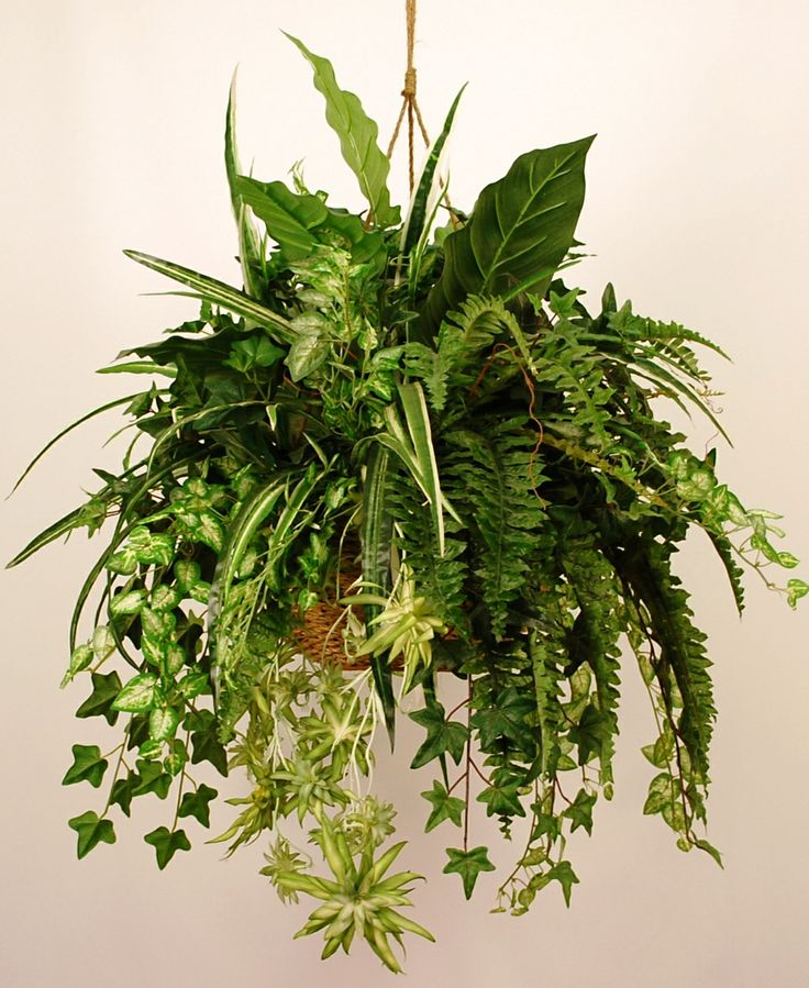 hanging fern- one for each of the 3 living room windows