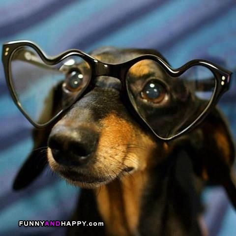 Funny Glasses | Funny dachshund in glasses | Funny Page | Funny Pictures