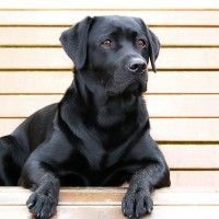 #dogalize Dog curiosities: what is the Black Dog Syndrome? #dogs #cats #pets