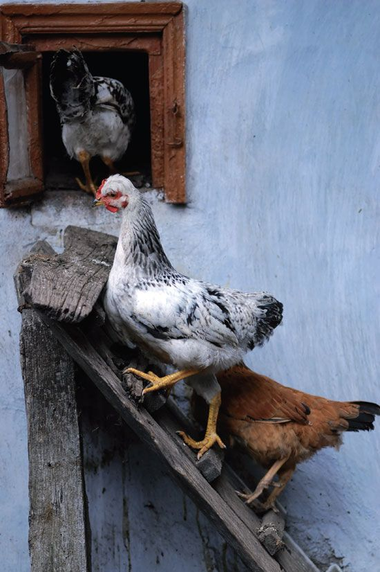 Guide to Raising Chickens, Ducks and Geese - GRIT Magazine