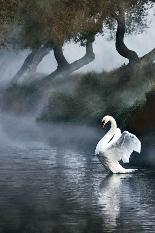 Elegant Swan  in the Mist.   Le croissant d'argent