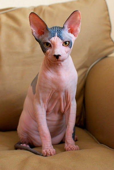Sphynx, a raça de gatos sem pelos.