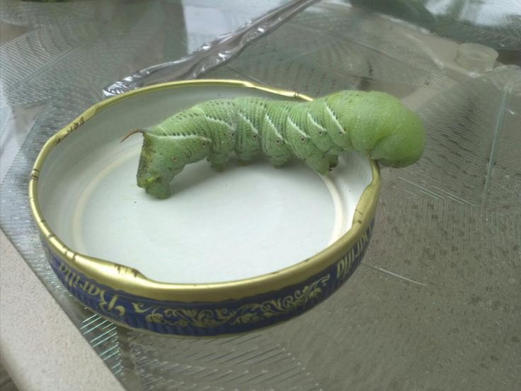 This Is The Bastard Hornworm That Is Responsible For Eating Half A Dozen Tomatoes In My Garden