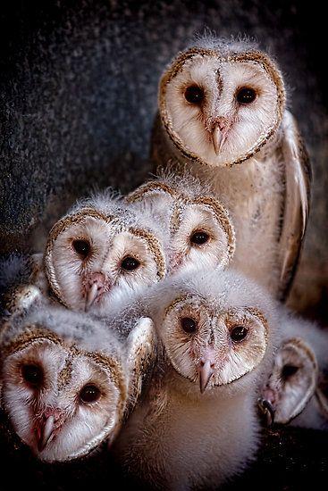 Mom and Baby Barn Owls