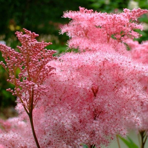 Miniaturowa Wiazowka Nana Puszyste Rozowe Kwiaty 7857919669 Oficjalne Archiwum Allegro Plants Garden Plants Perennials