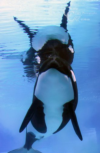 Marineland Killer Whales (Ike) #8 (by CampCrazy Photography)