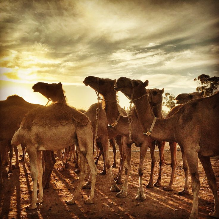 Morning Milking run. Taking the camels into the shed for miking. #camel #Dawn #sunrise #Shadows