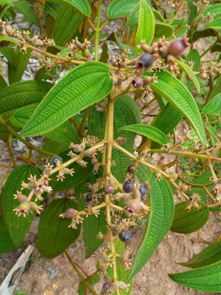 Pixirica: berry brasileira comestível  Claro, alguns fabr...