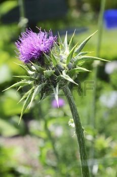 milk thistle: A flowering milk thistle (silybum marianum)