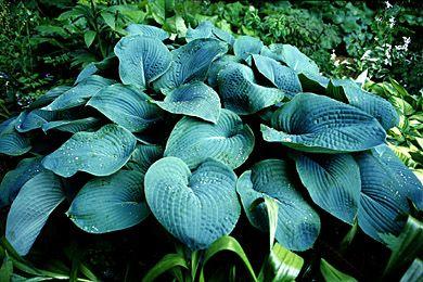 Sinikuunlilja - Hosta sieboldiana