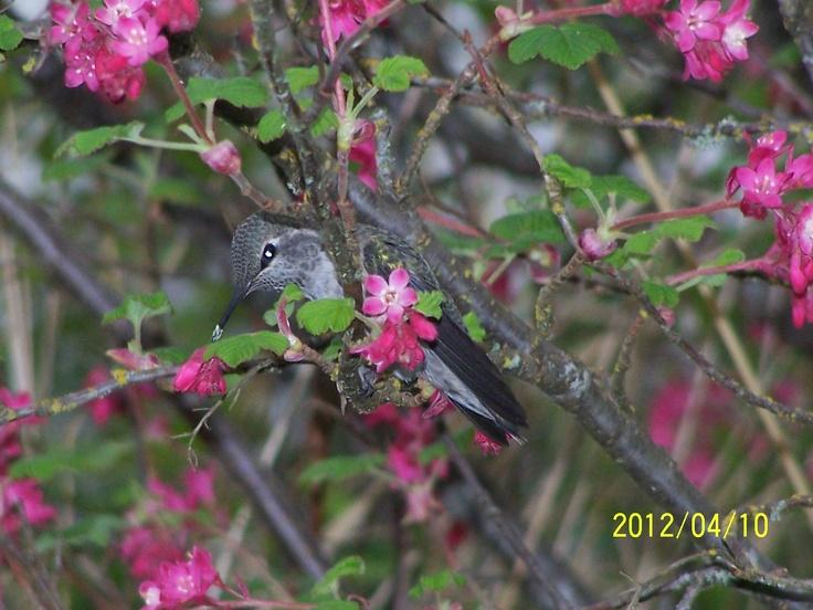 Anna's Hummingbird at Swan Lake in Victoria, BC. Photo credit: me!