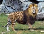 Интересные Факты. Лигр и тигролев