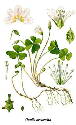 Oxalis acetosella (EN: wood sorrel; DE: Waldsauerklee). Edible leaves with an acidic flavor. Native in central and northern Europe. Should not be consumed in large quantities because of its high oxalic acid content.