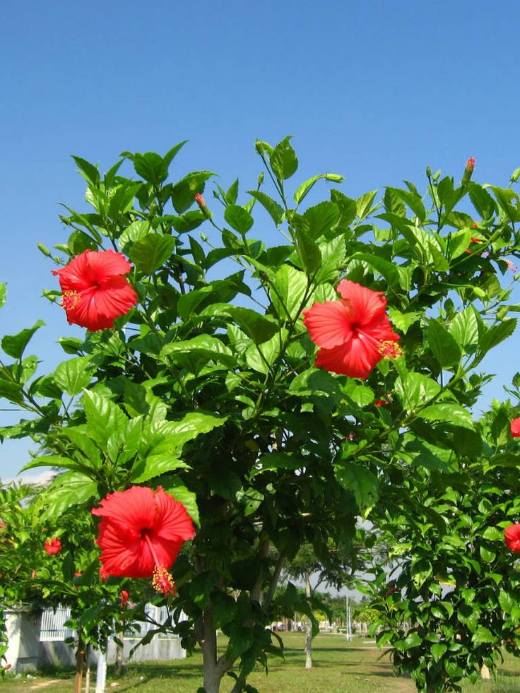 """Hibiscus rosa-sinensis (Chinese Hibiscus, China Rose) → Plant characteristics and more photos at: http://worldoffloweringplants.com/?p=99  """"A flower cannot blossom without sunshine, and man cannot live without love."""" - Max Muller"""